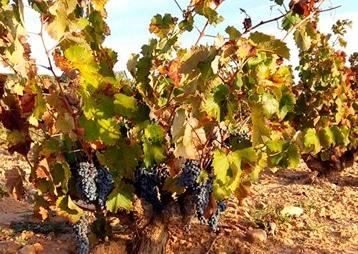 las-zorreras-viticultura